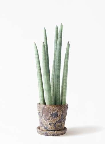 観葉植物 サンスベリア スタッキー 4号 ハレー カーキー 付き