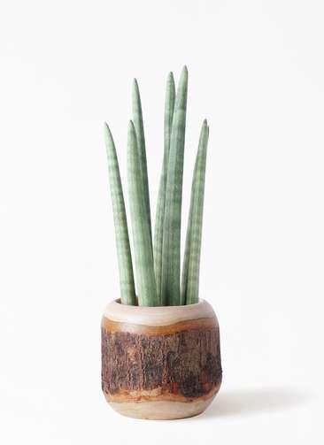 観葉植物 サンスベリア スタッキー 4号 マンゴーウッド 付き
