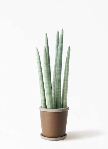 観葉植物 サンスベリア スタッキー 4号 キャメルポット ブラウン 付き
