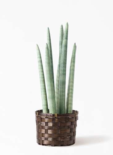 観葉植物 サンスベリア スタッキー 4号 竹バスケット付き