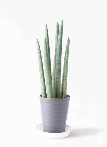 観葉植物 サンスベリア スタッキー 4号 プラスチック鉢