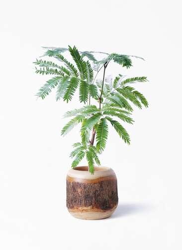 観葉植物 エバーフレッシュ 4号 ボサ造り マンゴーウッド 付き