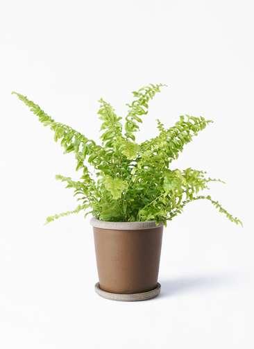 観葉植物 ネフロピレス 3.5号 キャメルポット ブラウン 付き