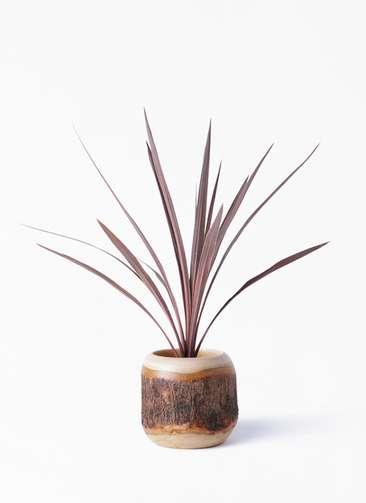 観葉植物 コルディリネ (コルジリネ) レッドスター 4号 マンゴーウッド 付き