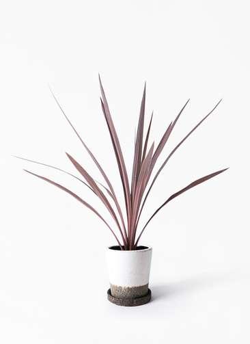 観葉植物 コルディリネ (コルジリネ) レッドスター 4号 ヴィフポット ホワイト 付き
