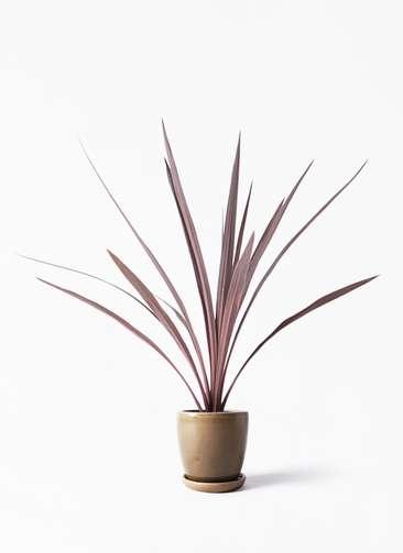 観葉植物 コルディリネ (コルジリネ) レッドスター 4号 アステア トール ブラウン 付き