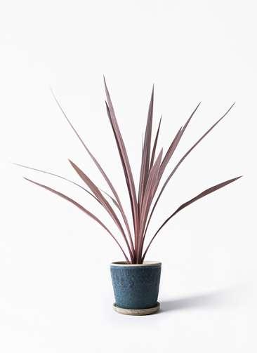 観葉植物 コルディリネ (コルジリネ) レッドスター 4号 フェイバーポット ブルー 付き