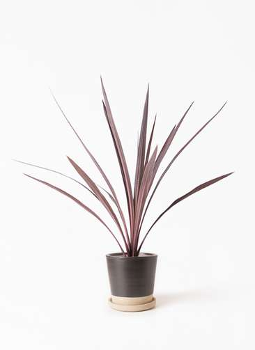 観葉植物 コルディリネ (コルジリネ) レッドスター 4号 マット グレーズ テラコッタ ブラック 付き