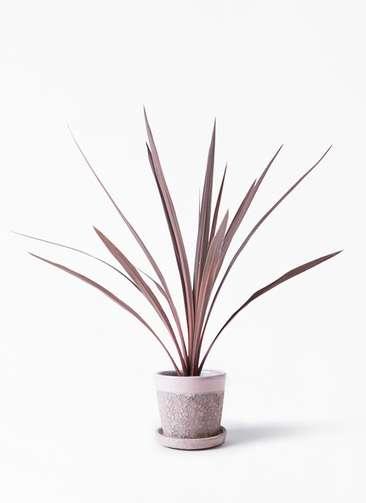 観葉植物 コルディリネ (コルジリネ) レッドスター 4号 ハレー ピンク 付き