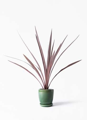 観葉植物 コルディリネ (コルジリネ) レッドスター 4号 アステア トール グリーン 付き