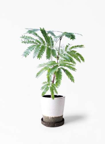 観葉植物 エバーフレッシュ 4号 ボサ造り ヴィフポット ホワイト 付き