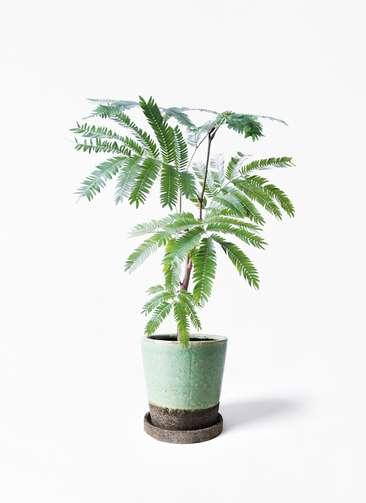 観葉植物 エバーフレッシュ 4号 ボサ造り ヴィフポット ミントグリーン 付き