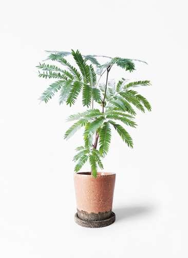 観葉植物 エバーフレッシュ 4号 ボサ造り ヴィフポット サーモンピンク 付き
