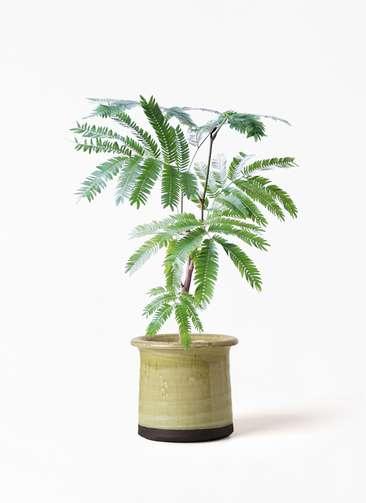 観葉植物 エバーフレッシュ 4号 ボサ造り アンティークテラコッタ グリーン 付き