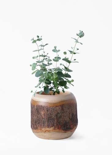 観葉植物 ユーカリ 3号 グニー マンゴーウッド 付き