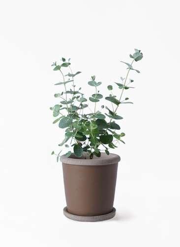 観葉植物 ユーカリ 3号 グニー キャメルポット ブラウン 付き