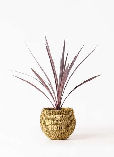 観葉植物 コルディリネ (コルジリネ) レッドスター 4号 アバカバスケット オリーブ 付き