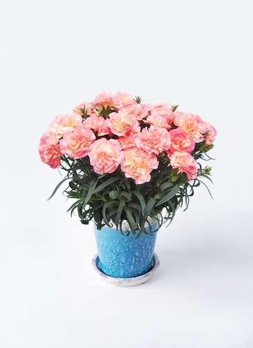 鉢花 カーネーション 5号 フロリア-ヌ ピンク アンティークテラコッタBlue 付き