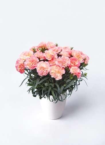 鉢花 カーネーション 5号 フロリア-ヌ ラスターポット 付き
