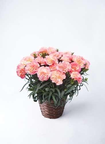 鉢花 カーネーション 5号 フロリア-ヌ ピンク 竹バスケット 付き