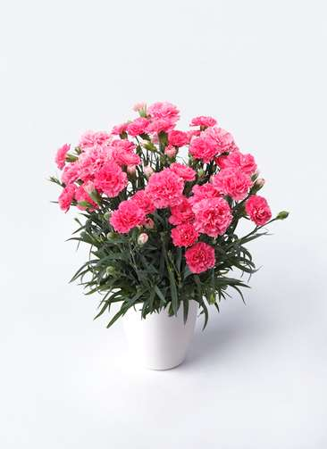 鉢花 カーネーション 5号 クレア ピンク ラスターポット 付き