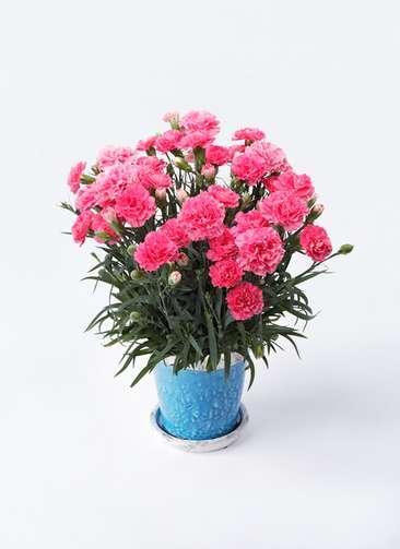 鉢花 カーネーション 5号 クレア ピンク アンティークテラコッタBlue 付き