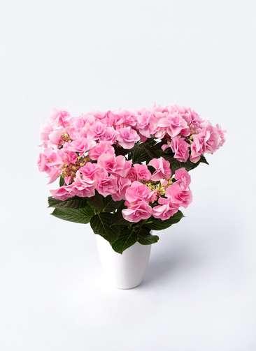 鉢花 あじさい 5号 フェアリーアイ ピンク ラスターポット 付き