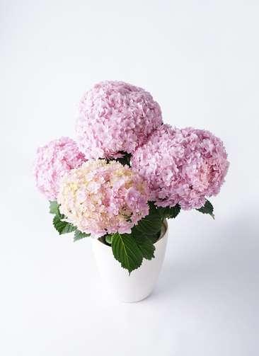 鉢花 あじさい 5号 てまりてまり ピンク ラスターポット 付き