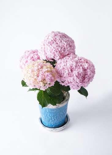鉢花 あじさい 5号 てまりてまり ピンク アンティークテラコッタBlue 付き
