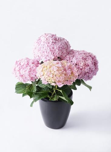 鉢花 あじさい 5号 てまりてまり ピンク ラスターポット ブラック 付き