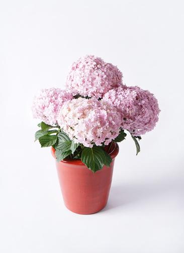 鉢花 あじさい 5号 てまりてまり ピンク アンティークテラコッタ レッド 付き
