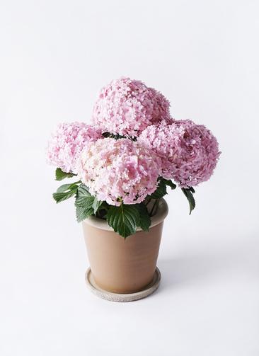 鉢花 あじさい 5号 てまりてまり ピンク キャメルポット ブラウン 付き