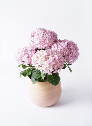 鉢花 あじさい 5号 てまりてまり ピンク ササール ピンク 付き