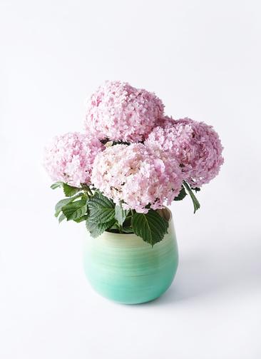 鉢花 あじさい 5号 てまりてまり ピンク ササール ブルー 付き