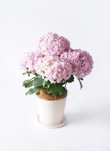 鉢花 あじさい 5号 てまりてまり ピンク ベラ アイボリー 付き