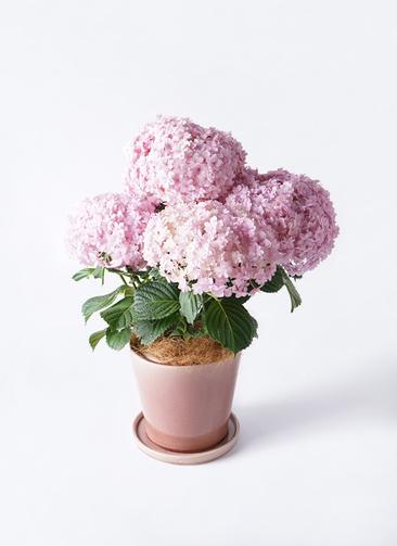鉢花 あじさい 5号 てまりてまり ピンク ベラピンクパープル 付き