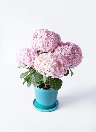 鉢花 あじさい 5号 てまりてまり ピンク ベラ ブルー 付き