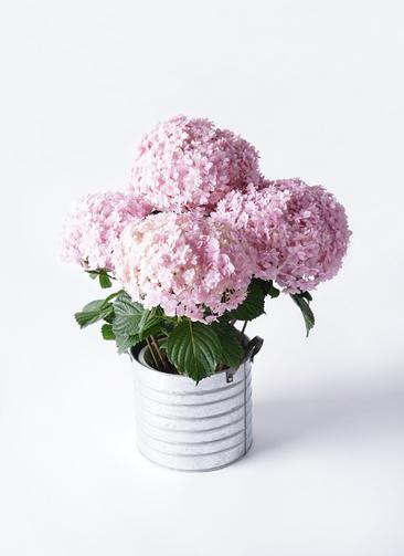 鉢花 あじさい 5号 てまりてまり ピンク ブリキドラム 付き