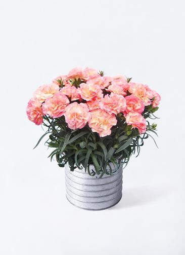 鉢花 カーネーション 5号 フロリアーヌ ピンク ブリキドラム 付き