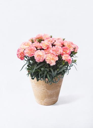 鉢花 カーネーション 5号 フロリアーヌ ピンク アートストーン ラウンドベージュ 付き