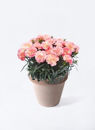 鉢花 カーネーション 5号 フロリアーヌ ピンク スタンダードポット コーヒースクラッチ 付き