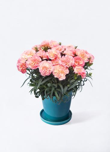鉢花 カーネーション 5号 フロリアーヌ ピンク ベラ ブルー 付き
