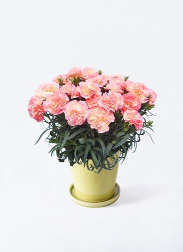 鉢花 カーネーション 5号 フロリアーヌ ピンク ベラ ニューグリーン 付き