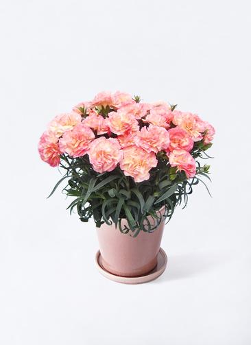 鉢花 カーネーション 5号 フロリアーヌ ピンク ベラ ピンクパープル 付き