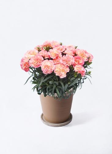 鉢花 カーネーション 5号 フロリアーヌ ピンク キャメルポット ブラウン 付き