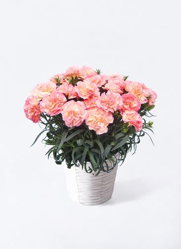 鉢花 カーネーション 5号 フロリアーヌ ピンク ホワイトバスケット 付き