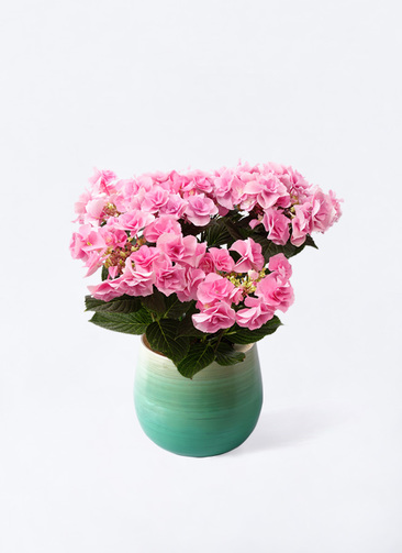 鉢花 あじさい 5号 フェアリーアイ ピンク ササール ブルー 付き
