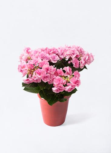 鉢花 あじさい 5号 フェアリーアイ ピンク アンティークテラコッタ レッド 付き