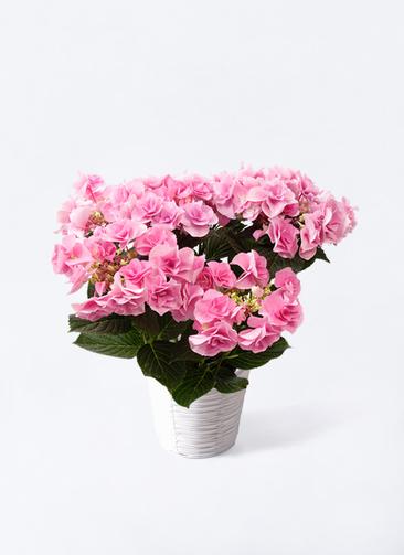 鉢花 あじさい 5号 フェアリーアイ ピンク ホワイトバスケット 付き