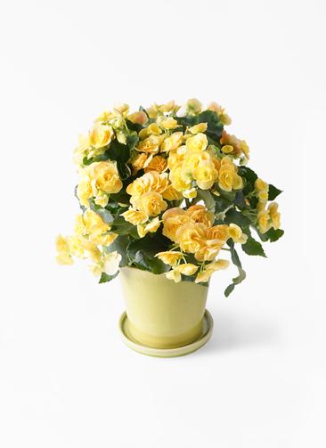 鉢花 リーガスベゴニア 5号 イエローストーン ベラ ニューグリーン 付き